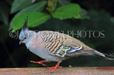 Taiwan, TAIPEI, Taipei Zoo, Bird World, Crested Pigeon, TAW343JPL