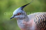 Taiwan, TAIPEI, Taipei Zoo, Bird World, Crested Pigeon, TAW344JPL