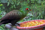 Taiwan, TAIPEI, Taipei Zoo, Bird World, Green Turaco, TAW316JPL