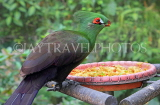 Taiwan, TAIPEI, Taipei Zoo, Bird World, Green Turaco, TAW317JPL