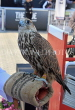 UAE, ABU DHABI, Falcon, national bird, UAE683JPL