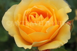 UK, Hampshire, WINCHESTER, Abbey Gardens, yellow orange Rose, UK8589JPL