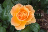 UK, Hampshire, WINCHESTER, Abbey Gardens, yellow orange Rose, UK8594JPL