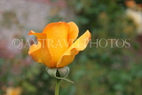 UK, Hampshire, WINCHESTER, Abbey Gardens, yellow orange Rose bud, UK8603JPL