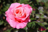 UK, LONDON, Battersea Park, Russell Page Gardens, pink Rose, UK10133JPL