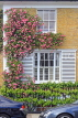 UK, LONDON, Belgravia, Bloomfield Terrace, house front with rose creeper, UK28077JPL