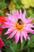 UK, LONDON, Brent, Barham Park, deep pink Dahlia flower, and bee, UK3940JPL