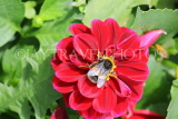 UK, LONDON, Brent, Barham Park, flowers, red Dahlia and bee, UK10810JPL
