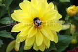 UK, LONDON, Brent, Barham Park, flowers, yellow Dahlia and bee, UK10806JPL