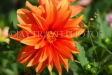 UK, LONDON, Brent, Barham Park, orange Dahlia flower, UK3957JPL