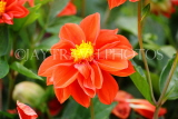 UK, LONDON, Brent, Barham Park, orange Dahlia flowers, UK3950JPL