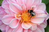 UK, LONDON, Brent, Barham Park, pink Dahlia and bee, closeup, UK10837JPL