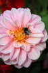 UK, LONDON, Brent, Barham Park, pink Dahlia flowers, and bee, UK10833JPL