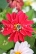UK, LONDON, Brent, Barham Park, red Dahlia flower, and bee, UK3941JPL