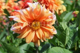UK, LONDON, Greenwich, Greenwich Park, orange Dahlia flower and bee, UK10979JPL
