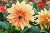 UK, LONDON, Greenwich, Greenwich Park, pale orange Dahlia flower and bee, UK10978JPL