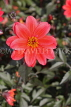 UK, LONDON, Greenwich, Greenwich Park, red Dahlia flower, UK10981JPL