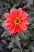 UK, LONDON, Greenwich, Greenwich Park, red Dahlia flower, UK10982JPL