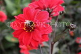 UK, LONDON, Greenwich, Greenwich Park, red Dahlia flower and bee, UK10980JPL