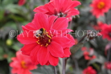 UK, LONDON, Greenwich, Greenwich Park, red Dahlia flower and bee, UK10983JPL
