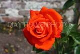UK, LONDON, Hampton Court Palace, Rose Garden, deep orange rose, UK9981JPL
