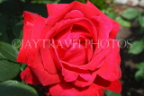 UK, LONDON, Hampton Court Palace, Rose Garden, deep red rose, UK9982JPL