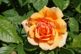 UK, LONDON, Hampton Court Palace, Rose Garden, orange rose, UK9984JPL