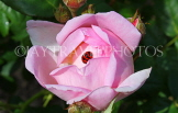 UK, LONDON, Hampton Court Palace, Rose Garden, pink rose and ladybird, UK9987JPL