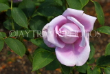 UK, LONDON, Hampton Court Palace, Rose Garden, single Blue Moon rose, UK9980JPL