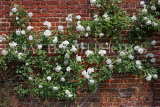 UK, LONDON, Hampton Court Palace, Rose Garden, white roses, UK9983JPL