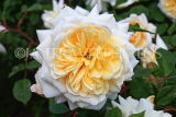 UK, LONDON, Hampton Court Palace, Rose Garden, yellow and white rose, UK9986JPL