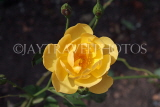 UK, LONDON, Hampton Court Palace, Rose Garden, yellow rose, UK11405JPL