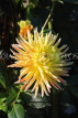 UK, LONDON, Holland Park, Napolian Garden, Dahlia flower, UK16436JPL