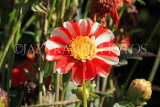 UK, LONDON, Holland Park, Napolian Garden, Dahlia flower, UK16439JPL