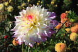 UK, LONDON, Holland Park, Napolian Garden, Dahlia flower, UK16473JPL