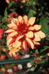 UK, LONDON, Holland Park, Napolian Garden, Dahlia flower, UK16478JPL