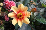 UK, LONDON, Holland Park, Napolian Garden, Dahlia flower, UK16479JPL