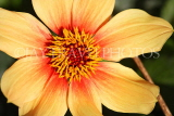 UK, LONDON, Holland Park, Napolian Garden, Dahlia flower, closeup, UK16444JPL