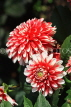 UK, LONDON, Holland Park, Napolian Garden, Dahlia flowers, UK16440JPL