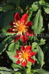 UK, LONDON, Holland Park, Napolian Garden, Dahlia flowers, UK16468JPL