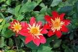 UK, LONDON, Holland Park, Napolian Garden, Dahlia flowers, UK16469JPL