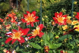 UK, LONDON, Holland Park, Napolian Garden, Dahlia flowers, UK16470JPL