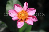 UK, LONDON, Holland Park, Napolian Garden, pink Dahlia flower, UK16443JPL