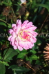 UK, LONDON, Holland Park, Napolian Garden, pink Dahlia flower, UK16472JPL