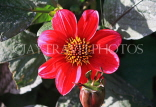 UK, LONDON, Holland Park, Napolian Garden, red Dahlia flower, UK1643JPL