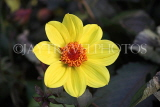 UK, LONDON, Holland Park, Napolian Garden, yellow Dahlia flower, UK16437JPL