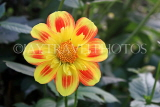 UK, LONDON, Holland Park, Napolian Garden, yellow Dahlia flower, UK16477JPL