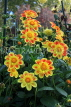 UK, LONDON, Holland Park, Napolian Garden, yellow Dahlia flowers, UK16476JPL