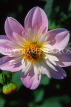 UK, LONDON, Holland Park, flowers, Bee on Dahlia, UK7436JPL