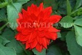 UK, LONDON, Holland Park, flowers, red Dahlia, UK7435JPL